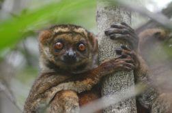 Masoala - Eastern Woolly Lemur
