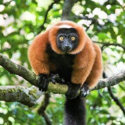 Masoala - Red Ruffed Lemur