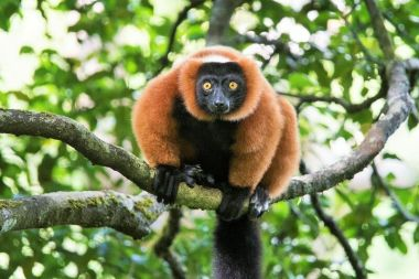 Masoala - Red Ruffed Lemur