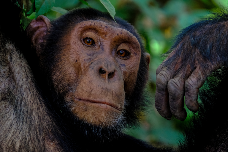 See Chimpanzees in Uganda with Nature Travel Africa
